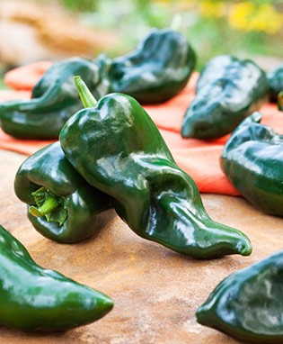 Poblano Hot Pepper