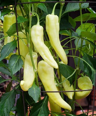 Sweet Banana Pepper