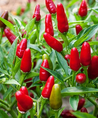 Thai Hot Ornamental Pepper